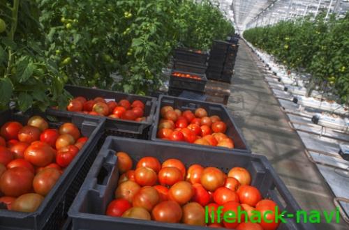 美白 効果 トマト